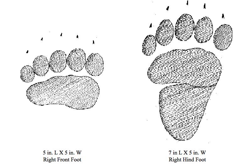 Black Bear Footprints